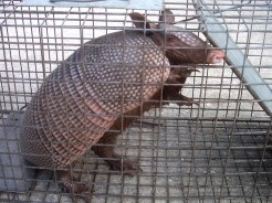 armadillo-removal-Lithia
